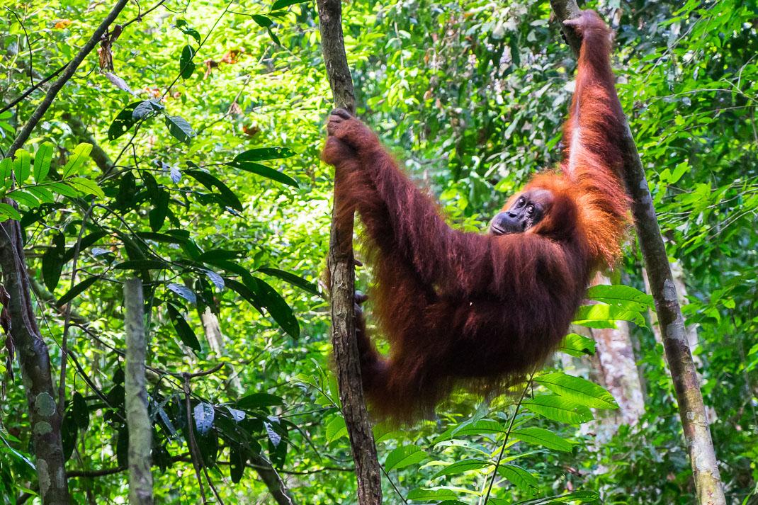 Senderismo de los Oranges de Sumatra en Bukit Lawang