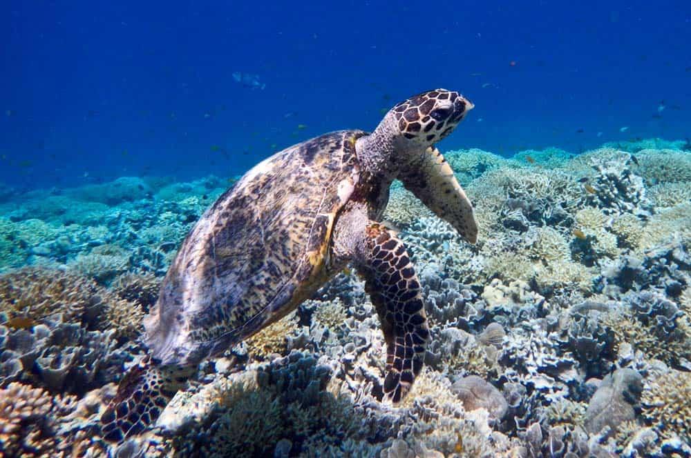 tortugas en  Gili Meno