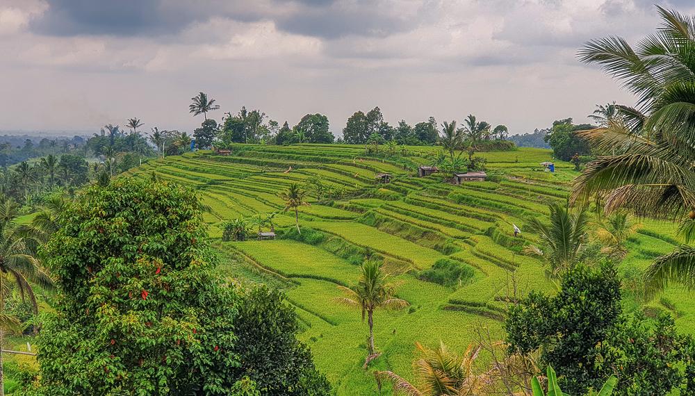 Campos de Arroz en Ubud