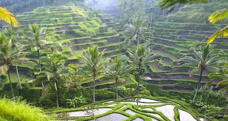 Terrazas e Arroz en Bali