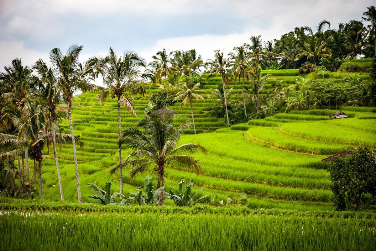 Trekking a través de campos de arroz, Bali