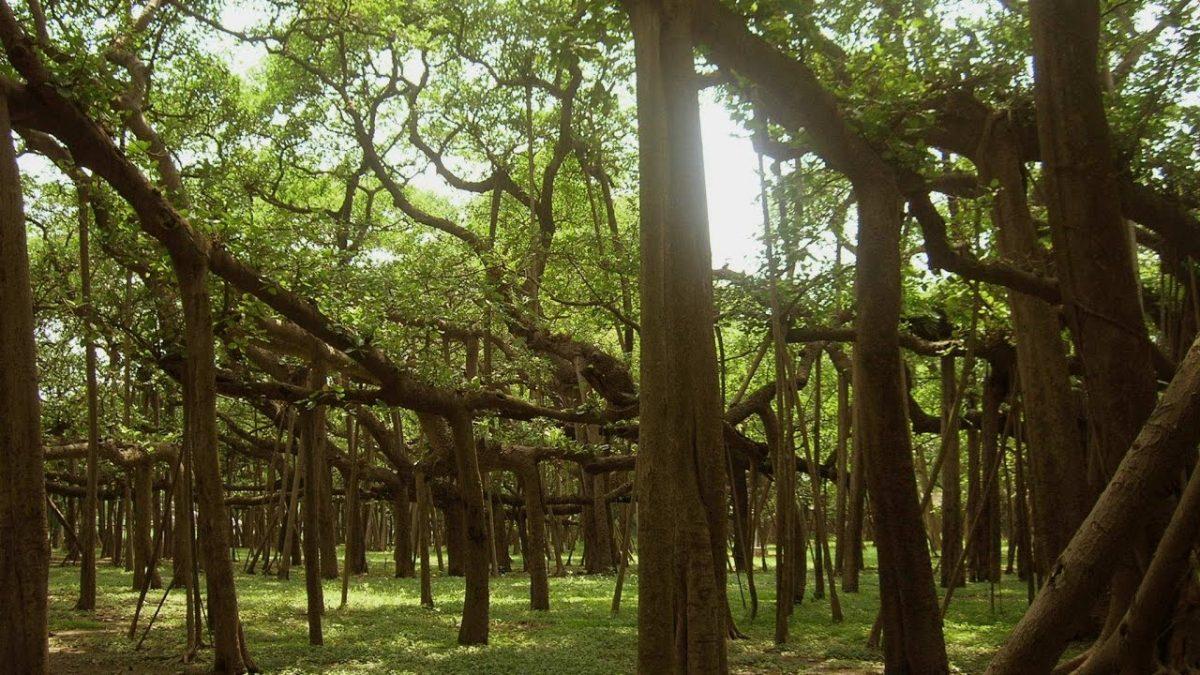 Templo del Árbol de Banyan
